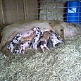 #8's pigs #2