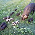 IM000349 - spot pigs