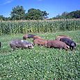IM000325 - 125 lb pigs