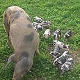 Twiggy and piglets