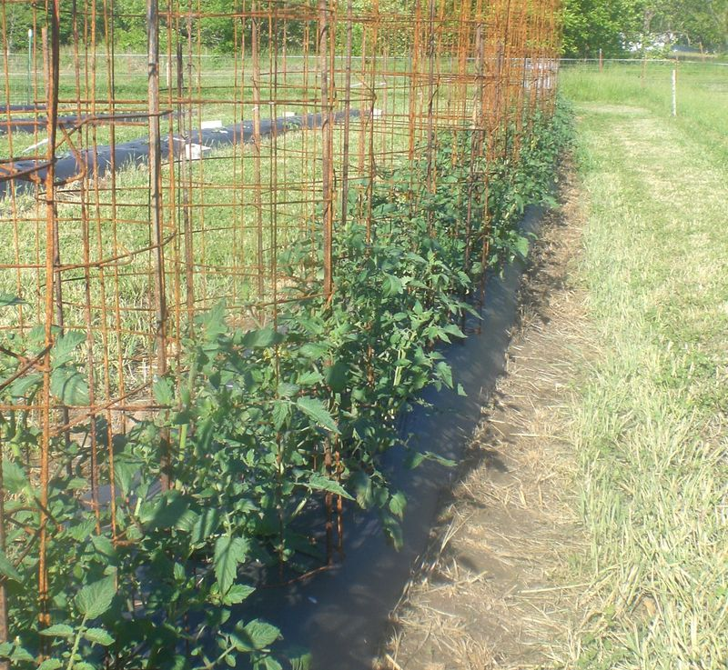 Platicmulchtomatoes