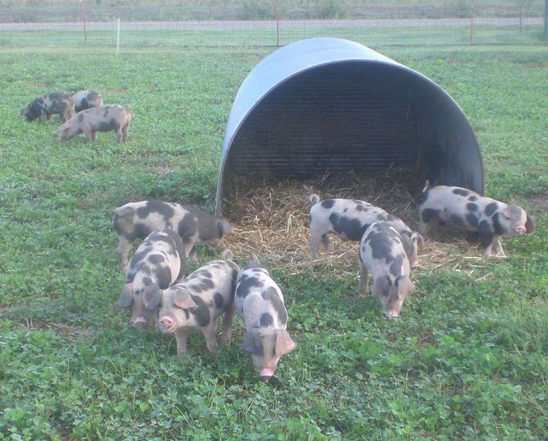 PigHut9-24-2010